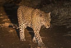 Safari-149 (Davey6585) Tags: travel traveling world southafrica africa safari tydonafricansafaris tydonsafaris tydon sabisands sabisandsprivategamereserve sabisandsgamereserve pantherapardus leopard africanleopard cat bigcat bigfive big5 animal animals wildlife wildanimals