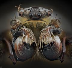 Pararaneus (Dean Lerman) Tags: spider insect bug dean lerman macro nikon mitutoyo 5x