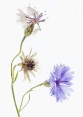 Cornflower Fading - HMM! (suzanne~) Tags: flower cornflower centaureacyanus plant blossom fade macro macromondays highkey edible blue ledlightbox lighttable