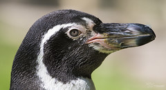 Humboldt Penguin (Paula Darwinkel) Tags: humboldtpenguin penguin bird animal wildlife nature portrait zoo eye