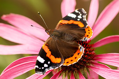 A Clash of Colour! (Jay Bees Pics) Tags: butterfly redadmiral coneflower echinacea nature garden calver derbyshire 2017 ngc npc
