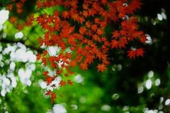 sapporo 492 (kaifudo) Tags: sapporo hokkaido japan autumnleaves 北海道 札幌 北大植物園 nikon d810 nikkor afs 105mmf14eed 105mm bokeh