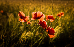 Reds (--Conrad-N--) Tags: plants poppies mohn sony sunset summer sun sunday a7rm2 za zeiss flickr field grass green glowing flowers