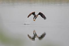 Bald Eagle - 094A2811a3c (Sue Coastal Observer) Tags: baldeagle haliaeetusleucocephalus baea elginpark surrey bc britishcolumbia canada fishing