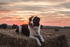 Collie Sunset (sharongellyroo) Tags: dodge bordercollie rescue stourvalleypath glemsford suffolk summer harvest sunset