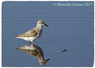 Semipalmated Sandpiper (Calidris pusilla) SESA - Lonely Peep (Best seen larger)
