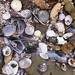 Piled shells at Long Point, mid west coast, Flinders Island