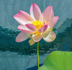 The Lotus Rose (12bluros) Tags: lotus flower flora floral pool canonef100mmf28lmacroisusm nybg newyorkbotanicalgarden water pond
