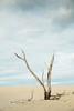 Australia (Robert Lang Photography) Tags: australia australiandunes sanddunes tree deadtree stick dune sandy sanddune nature clouds colour vertical beach eyrepeninsula lincolnnationalpark portlincoln roblang robertlang robertlangaustralia robertlangphotography robertlangphotographyportlincoln robertlangsouthaustralia southaustralia winter wwwrobertlangcomau sandduneaustralia sand branch sandhill dunes landscape color
