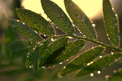 beautiful people (joy.jordan) Tags: raindrops leaves texture light sunset bokeh nature leaf