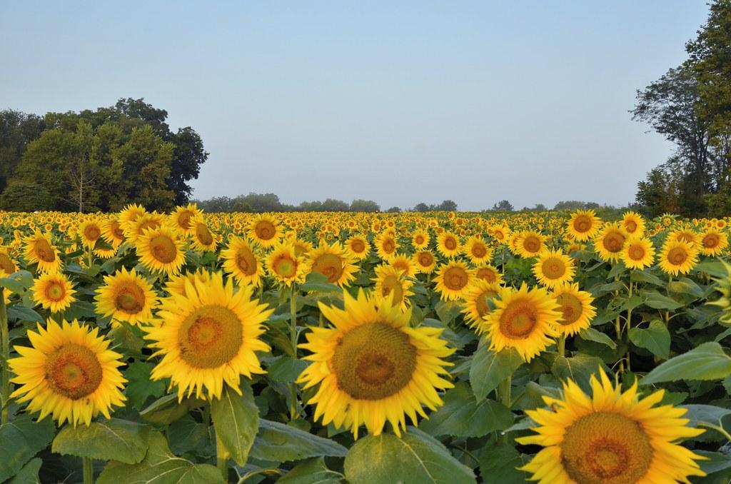 Sunflower Natural Food Restaurant