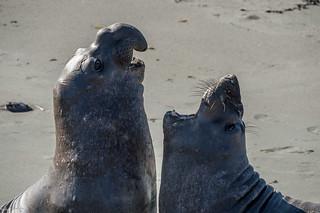 Elephan seal