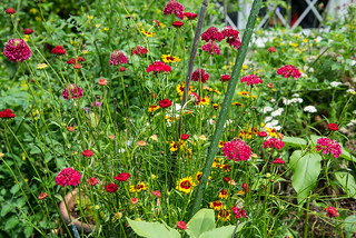 Scabiosa and red and yellow daisies