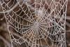frozen (burd32) Tags: frosty web spider 8legs frozen canon newzealand
