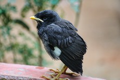 Myna Chick (parik.v9906) Tags: telephoto zoom nature animal chick myna bird d90 nikon