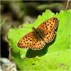 orange butterfly (atsjebosma) Tags: bokeh leaf blad vlinder tuin sweden atsjebosma summer zomer july juli 2017 braamparelmoervlinder ngc coth5