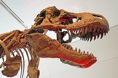 DSC09093 - Tyrannosaurus Rex (archer10 (Dennis) 107M Views) Tags: ontario sony a6300 ilce6300 18200mm 1650mm mirrorless free freepicture archer10 dennis jarvis dennisgjarvis dennisjarvis iamcanadian novascotia canada toronto tyrannosaurusrex dinosaur rom royalontariomuseum museum