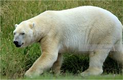 _DSC1976_1650 (sh10453) Tags: detroitzoo michigan usa polarbear nature wildlife outdoors photography sony a6000 royaloak