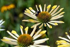 Yellow&WhiteConeflowers&Bee (T's PL) Tags: bee coneflower nikond7200 nikon d7200 nikondslr roanokeva roanoke tamron18270mmf3563diiivcpzd tamron18270 tamron nikontamron virginia va yellowandwhiteconeflowers flower macro plant flowers insect