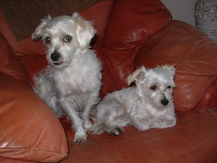Muttley and his mother, Maddi. (Muttley 05) Tags: dogs family maddi muttley mother son
