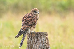 Watching the world go by 500_1666.jpg (Mobile Lynn) Tags: birds birdsofprey kestrel nature bird birdofprey fauna raptor wildlife otterbourne england unitedkingdom gb coth specanimal ngc coth5 npc sunrays5