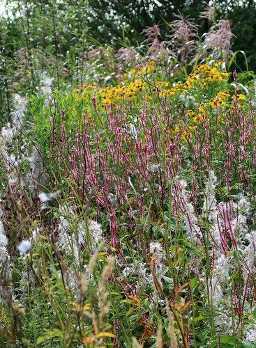 Polygonum amongst fluffy willowherb