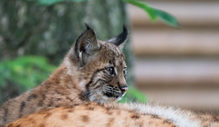 P1370795-Junger Luchs (Bine&Minka2007) Tags: tierpark luchs jungtier tier animal wildlife wildtiere