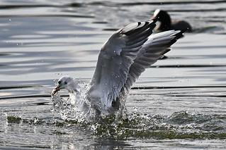 Gull with Fish - Möwe mit Fisch