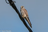 Falco tinnunculus ♀ - Kestrel (bollejeanclaude) Tags: rapaces diurnes photos oiseaux nature birds vogels braives wallonie belgique be nikoniste nikond750 faucon