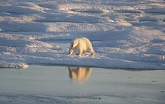 Baffin Island, Canada. (richard.mcmanus.) Tags: polarbears reflection canada nunavut baffinisland mcmanus arctic ice bear gettyimages