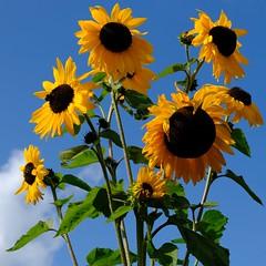 Fleur (Xerones) Tags: flower sky sunflowers northnorfolk houghtonhall fujifilmxt2 september2017