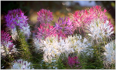 (melolou) Tags: flowers nature summer colours cleome light