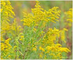 Autumn Glory (Sun~Lover) Tags: goldenrod fall autumn illinois yellow danadaforestpreserve solidago asteraceae explore 2017
