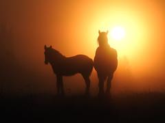 Silhouette Sunrise (Brian Carruthers-Dublin-Eire) Tags: horse horses silhouette sunrise foal rogerstownestuary dublin ireland eíre equine outdoor animalia animal