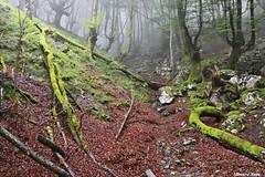 Lecho de hojas. (Howard P. Kepa) Tags: paisvasco euskadi bizkaia durango urkiola monte hojas ramas troncos arboles verano niebla musgo