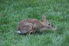 Feral Rabbit (pegase1972) Tags: rabbit lapin feral animal mammal licensed shutter dreamstime rf123