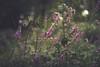 Wild fragile (Chloé +++) Tags: flowers flower fleurs fleur green grass bokeh purple pink rose nature naturel natur floral flore summer new light wild canon eos plants pretty proxi macro france bourgogne nièvre