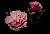 Rose flowers (betadecay2000) Tags: roseflowers rose flowers rosen rosengarten beet beete pflanze flower plant plants green grün rosenbusch rosebush dornen dorn blühen rosenstrauch zierpflanze blume blütenblatt outdoor schärfentiefe heiter autofocus i love flckr schwarzer hintergrund
