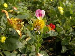 2017-08-22-10422 (vale 83) Tags: bee nokia n8 friends macrodreams colourartaward coloursplosion flickrcolour autofocus beautifulexpression