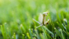 Blending In (Paul E.M.) Tags: praying mantis green