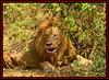 THE KING OF JUNGLE (Panthera leo)....MASAI MARA....OCT 2012 (M Z Malik) Tags: nikon d800e 70200mmf28 kenya africa safari wildlife masaimara keekoroklodge exoticafricanwildlife exoticafricancats flickrbigcats lions leo ngc