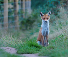 young fox (Tim Gardner pics) Tags: