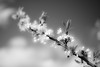 Blossoms of an Appletree (Lightcatcha) Tags: appletree apple tree blossoms blossom black white grey spring plant branch bw nikon d7100 sigma 1835mm f18 art hamburg germany deutschland apfelbaum bokeh leaves