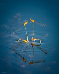 Face Off (59roadking - Jim Johnston) Tags: ifttt 500px water reflection blue animal insect insects ripple floating flying float damselfly mating midair