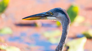 Great Blue Heron at The Great Swamp NJ | 2017 - 2