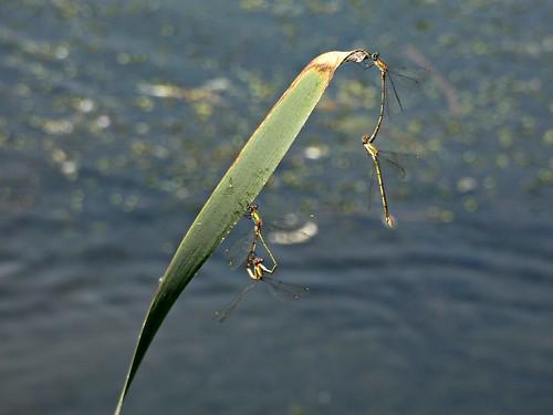 Mating damsels (Chalcolestes viridis ????)