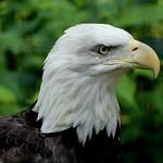 eagle thumbnail