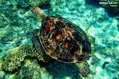 Green sea turtle, Chelonia mydas, Apo Island, Philippines (danniepolley) Tags: p9060084copygreenseaturtle cheloniamydas apoisland philippines