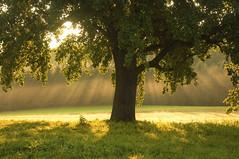 Strahlen am Morgen (Mariandl48) Tags: sonnenstrahlen nebel obstbaum alter birnenbaum wiese sonne wald gras alterbirnenbaum sommersgut wenigzell steiermark austria