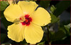 Yellow and Red Hybiscus Shepherdstown (WV) August 2017 (Ron Cogswell) Tags: yellowandredhybiscusshepherdstownwv thebavarianinnshepherdstownwv yellowandredhybiscus hybiscus shepherdstownwv